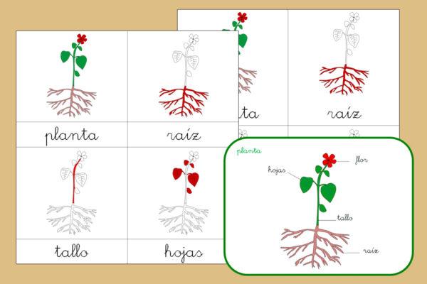 Tarjetas Montessori de las partes de la planta