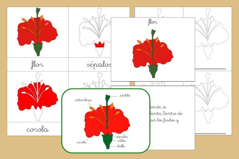Tarjetas Montessori+ libro de las partes de la Flor