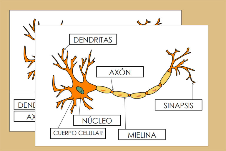 Plantilla de las Partes de una Neurona