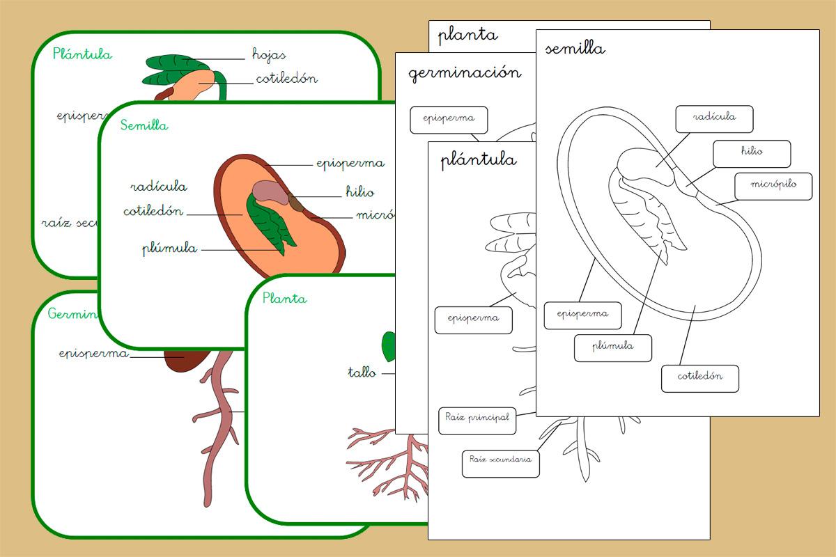 Ciclo de vida de la planta de inspiración Montessori – Creciendo Con ...