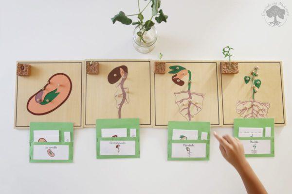 Ciclo de vida de la planta de inspiraci n montessori for Las partes de un arbol en ingles
