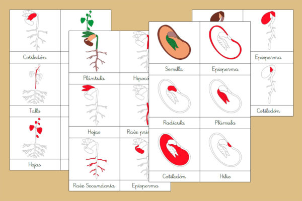 Tarjetas Montessori del Ciclo de Vida de la Planta